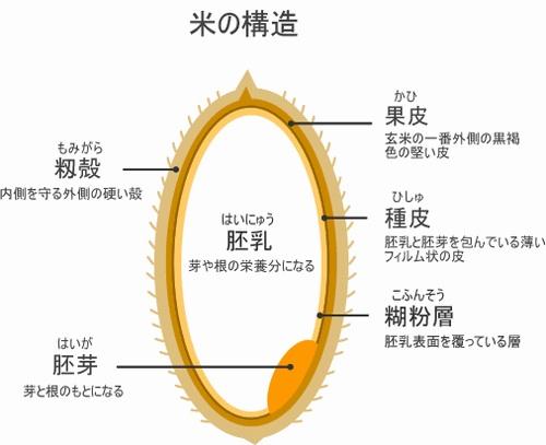 「胚芽 胚乳」の画像検索結果